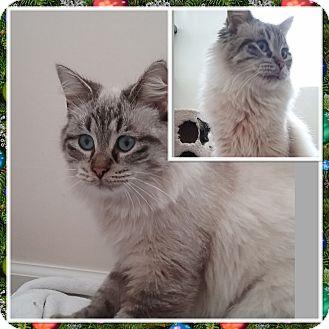 Birman Cat for adoption in Cedar Springs, Michigan - Spenze