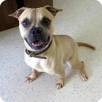 French Bulldog Mix Dog for adoption in Janesville, Wisconsin - Alonzo