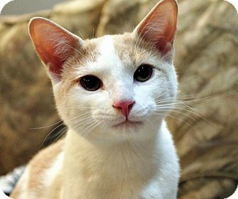Domestic Shorthair Cat for adoption in Troy, Michigan - Mr. Kelly