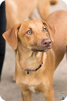 Manchester Terrier/Labrador Retriever Mix Puppy for adoption in Seattle, Washington - Tanner