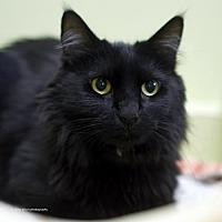 Domestic Mediumhair Cat for adoption in Tucson, Arizona - Englebert