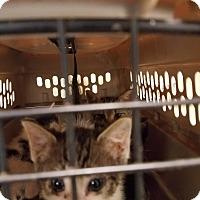 Domestic Shorthair Kitten for adoption in Rome, Georgia - 6/19