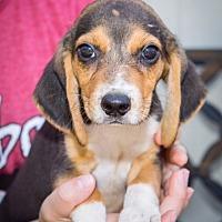 Adopt A Pet :: Garth - Boonsboro, MD
