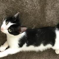 Adopt A Pet :: Davos TG - Schertz, TX