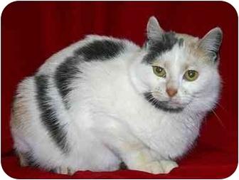 Calico Cat for adoption in Ladysmith, Wisconsin - PolkaDot