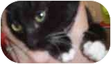 Domestic Shorthair Kitten for adoption in North Highlands, California - Prescott