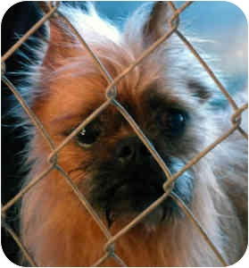 Brussels Griffon Dog for adoption in Greenville, Illinois - Tarzan