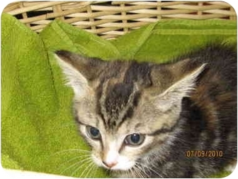 Polydactyl/Hemingway Kitten for adoption in Catasauqua, Pennsylvania - Snickers