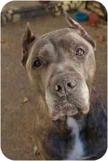 Cane Corso Dog for adoption in New York, New York - Jenna-NJ
