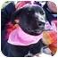 Photo 1 - German Shepherd Dog/Labrador Retriever Mix Puppy for adoption in Portsmouth, Rhode Island - Debbie