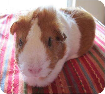 Guinea Pig for adoption in Williston, Florida - Shirley