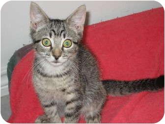 American Shorthair Cat for adoption in Huffman, Texas - Megan