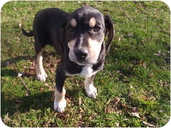 Shepherd (Unknown Type)/Coonhound Mix Puppy for adoption in Bel Air, Maryland - Sophie