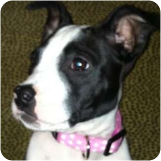 American Pit Bull Terrier Puppy for adoption in north hollywood, California - Pooka