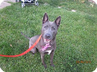 Weimaraner/Husky Mix Dog for adoption in Elyria, Ohio - Jasmine