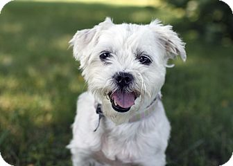 Maltese Mix Dog for adoption in Ile-Perrot, Quebec - Couscous