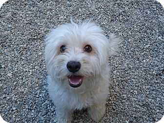 Maltese/Poodle (Miniature) Mix Dog for adoption in Los Angeles, California - Phoebe