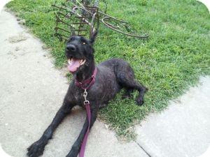 Schnauzer (Giant) Dog for adoption in Springfield, Missouri - Stormy