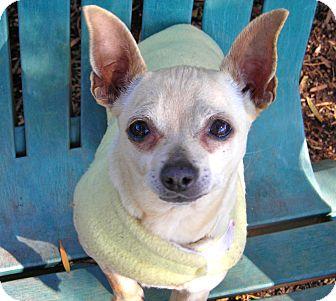 Chihuahua Dog for adoption in El Cajon, California - Skipper