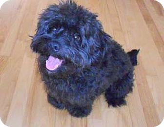 Poodle (Miniature) Mix Puppy for adoption in Mt. Prospect, Illinois - Mojo