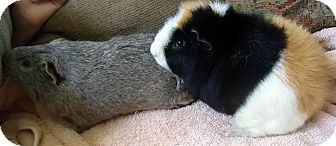 Guinea Pig for adoption in Grand Rapids, Michigan - Basil and Two Bit