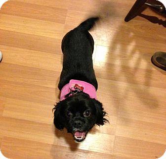 Cavalier King Charles Spaniel/Pekingese Mix Dog for adoption in Gig Harbor, Washington - Phoebe
