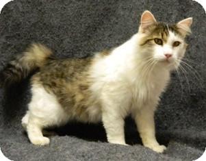 Domestic Longhair Cat for adoption in Columbus, Nebraska - Isaac