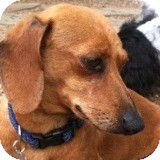 Dachshund Dog for adoption in Houston, Texas - Maverick Magnolia