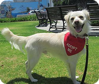 American Eskimo Dog/Spaniel (Unknown Type) Mix Dog for adoption in Los Angeles, California - FROSTY