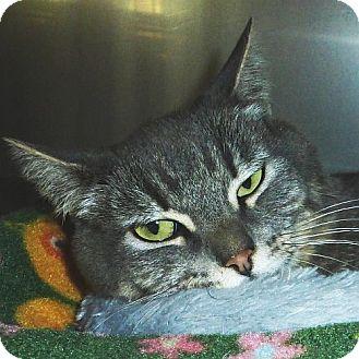 Domestic Shorthair Cat for adoption in Port Angeles, Washington - Fiona