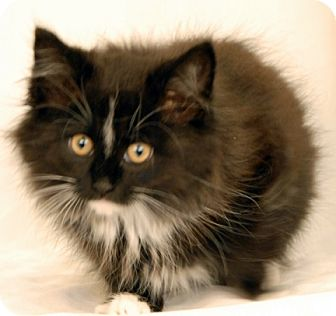 Domestic Mediumhair Kitten for adoption in Newland, North Carolina - Mandolin