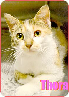 Domestic Mediumhair Cat for adoption in Beaumont, Texas - Thora