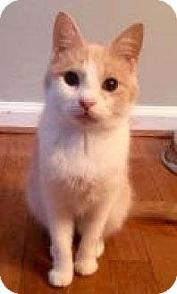 Domestic Shorthair Kitten for adoption in Mount Pleasant, South Carolina - Pixie