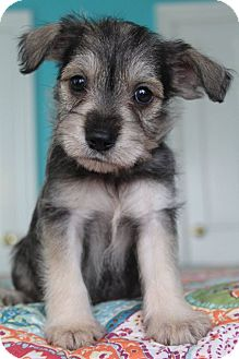 Schnauzer (Miniature)/Terrier (Unknown Type, Small) Mix Puppy for adoption in Allentown, Pennsylvania - Dharma