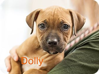 Boxer Mix Puppy for adoption in Dallas, Texas - Dolly