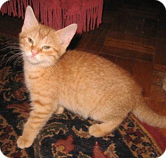 Domestic Shorthair Kitten for adoption in Colmar, Pennsylvania - Conrad-Adopted!