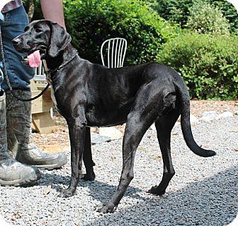 Pointer/Labrador Retriever Mix Dog for adoption in Marble, North Carolina - Karma