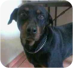 Rottweiler/Rottweiler Mix Dog for adoption in Dripping Springs, Texas - Sheba