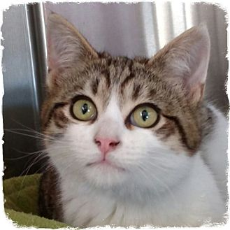 Domestic Shorthair Kitten for adoption in Pueblo West, Colorado - Boom