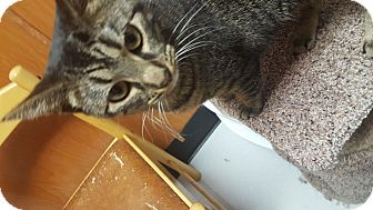 American Shorthair Cat for adoption in Tiffin, Ohio - CINNAMON