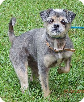 Shih Tzu/Terrier (Unknown Type, Small) Mix Dog for adoption in SUSSEX, New Jersey - Baby#2(15 lb) PERFECT Lil Dog!