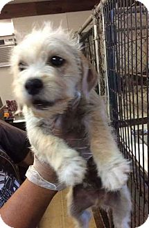 Terrier (Unknown Type, Medium)/Poodle (Miniature) Mix Puppy for adoption in Mesa, Arizona - BUTLER