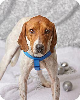 English (Redtick) Coonhound Mix Dog for adoption in Harrisonburg, Virginia - Ricky