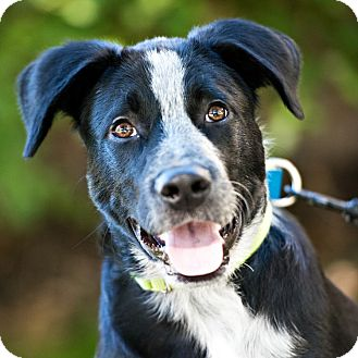 Australian Shepherd Mix Dog for adoption in Houston, Texas - Oreo