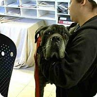 Adopt A Pet :: Cadence - Beverly Hills, CA
