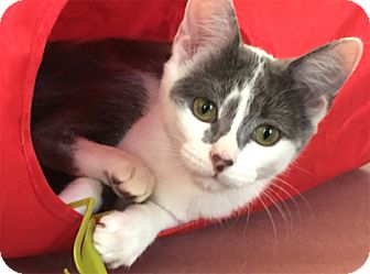 Domestic Shorthair Kitten for adoption in Chicago, Illinois - Cara