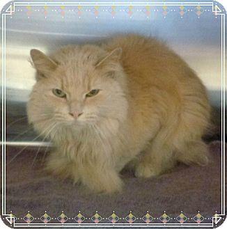 Domestic Mediumhair Cat for adoption in Marietta, Georgia - CLAUDIA