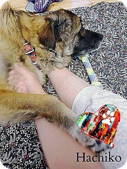 Shepherd (Unknown Type)/Collie Mix Dog for adoption in Ottawa, Ontario - Hachiko