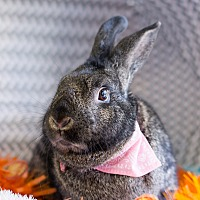 Adopt A Pet :: Augustine - Montclair, CA
