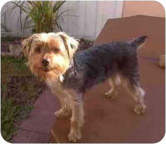 Yorkie, Yorkshire Terrier Puppy for adoption in Fairfax, Virginia - Florida Buddy